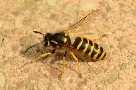 Een wespenbestrijding in Oosterhout gezocht